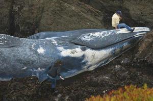 https://cahtjp.files.wordpress.com/2010/09/blue-whale_01.jpg?w=300